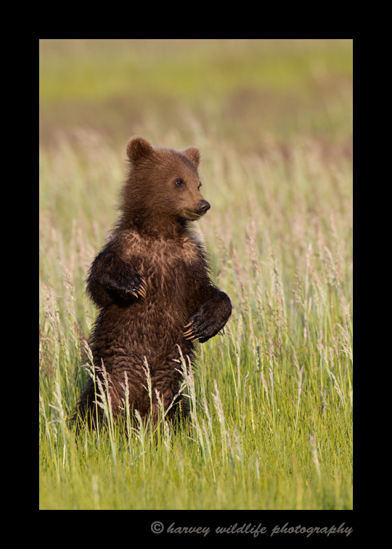 When the brown bear cubs are this tiny, they need to stand up to see over the grass when they hear something foreign. It's tough to catch a good shot of them standing up, but pretty cute when they do.