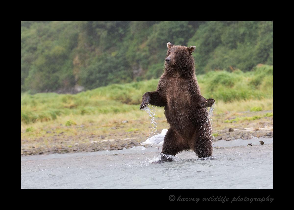 Standing Water Bear, Katmai, Alaska