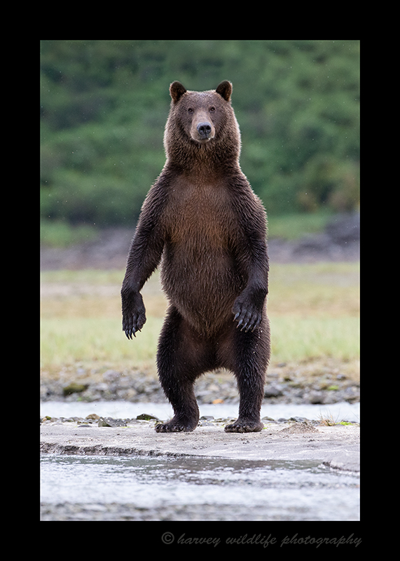Standing Female Brown Bear