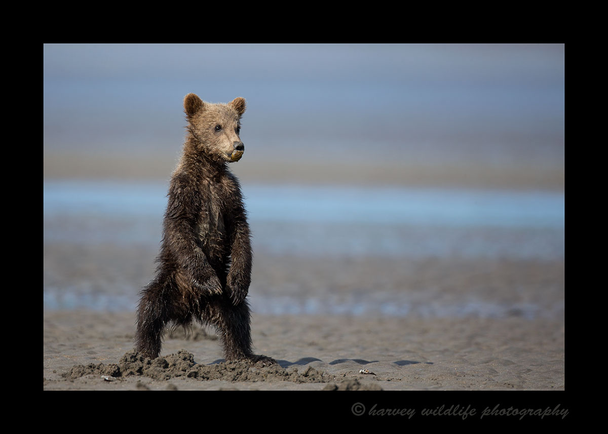 Standing Brown Bear Cub with Clam