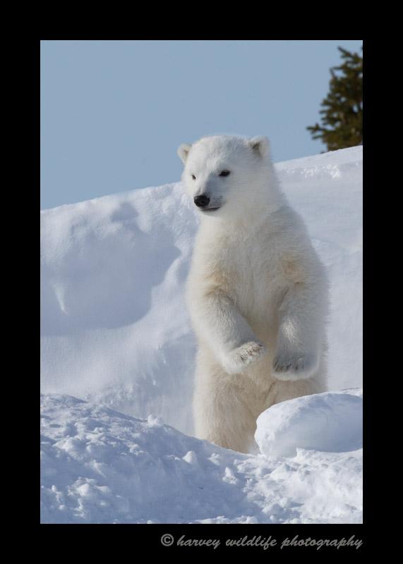 Standing_polar_bear_cub-1