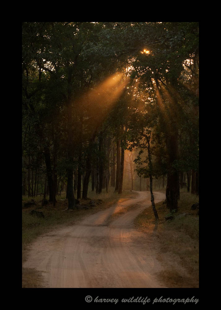 While waiting for monkey alarm calls, another safari jeep drove by us. I waited until the dust from the vehicle hit the light rays coming through the forest to snap this picture. Sometimes you have to be creative when the wildlife doesn't show up. While we didn't see any tigers that day, I do enjoy this image.