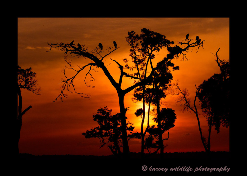 Marabou storks resting on trees in the Masai Mara as the sun is setting.