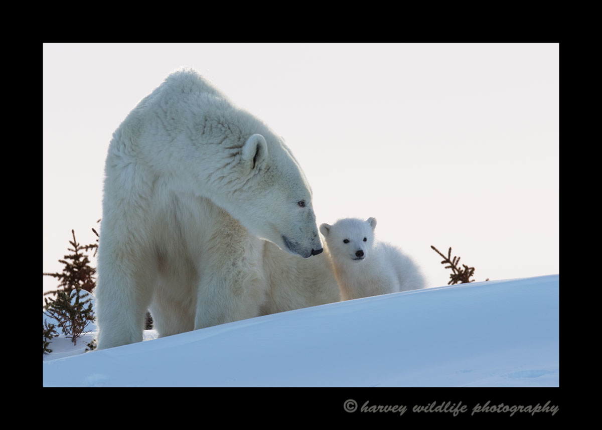 Polar bear mom and cub at sunset at Wapusk National Park.