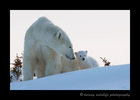 Polar bear mom and cub at sunset at Wapusk National Park.