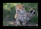 Picture of a ten-month old cheetah cub in the Masai Mara National Park. Image by Harvey Wildlife Photography.