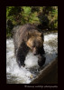 This grizzly sees a fish that she is interested in, so chases after it. It is amazing how quick these grizzlies are and how often they can catch the fish that they are chasing after.
