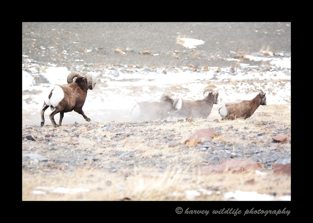 Sometimes while the biggest bighorns are busy fighting, the smaller males chase after the ladies just in case they can find some quick lovin' before the big males catch wind of what is going on.