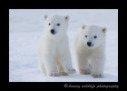 picture of polar bear cubs walking.