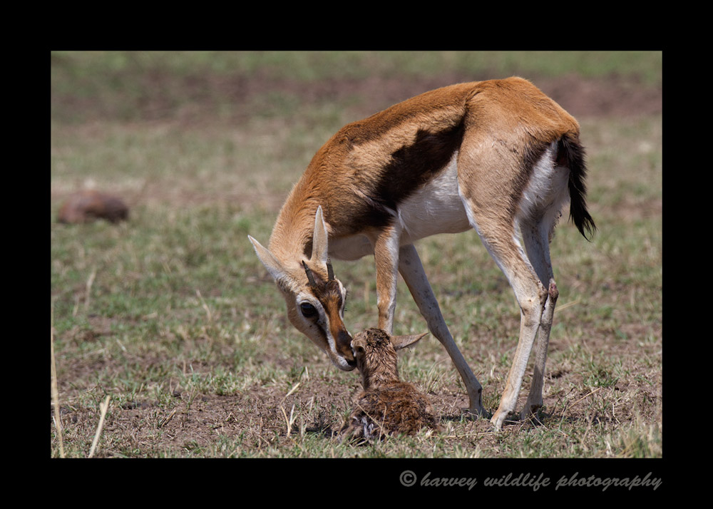 This female thomsons gazelle cleans off her brand new baby. This baby is only a few minutes old.