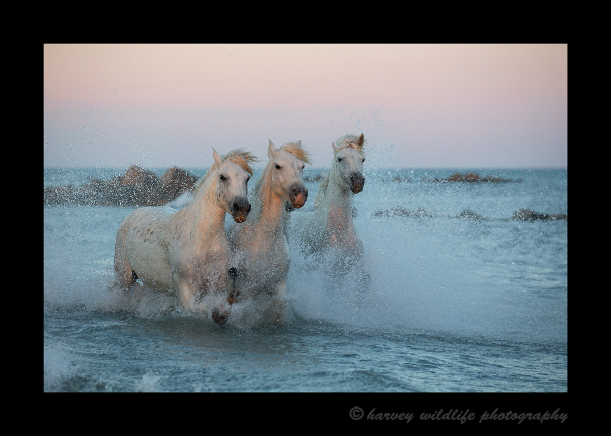 Picture of three pink Camargue horses in the Mediterranean sea in Southern France. Photo by Greg of Harvey Wildlife Photography.