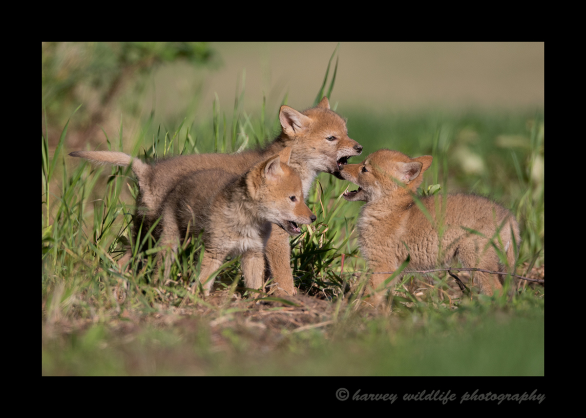 Picture of three coyotoe cubs playing near Stony Plain, Alberta. Photo by Greg of Harvey Wildlife Photography.