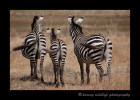 Three-Zebras