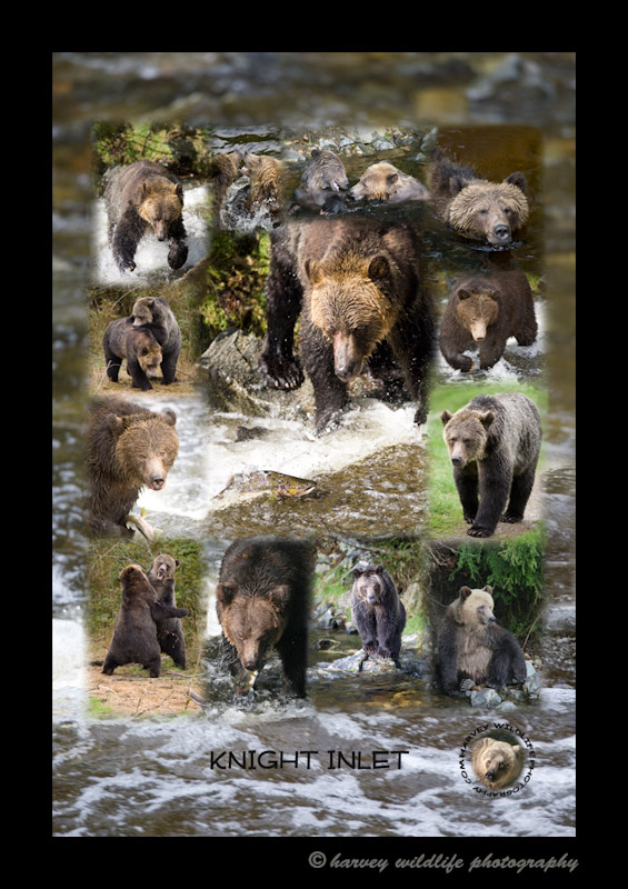 This collage was made as memory of the three days that we spent photographing the grizzly bears at Knight Inlet. The government allows each company to take tourists to see the bears for two hours each day during the salmon run. It was fun watching the grizzlies fishing, playing, fighting, eating and just generally being bears in a bear society. During those three days we saw up to 17 bears each day.