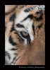 Amba; one of the Edmonton Valley Zoo's amur tigers poses for a photograph.