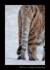 Siberian Tiger Tail