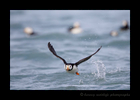 Tufted Puffin, in Flight, Katmai, Alaska