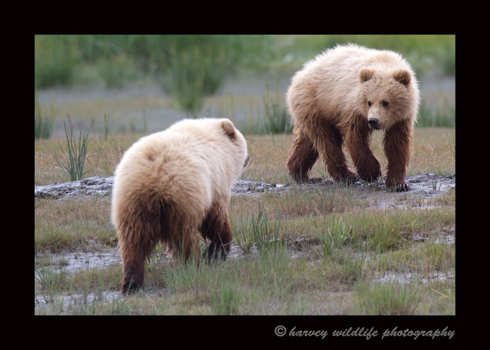 These two cubs were playing like dogs. They chased after one another and were really entertaining.