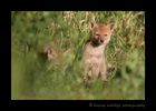 Picture of two coyote pups in the grass. Photo taken near Stony Plain, Alberta.