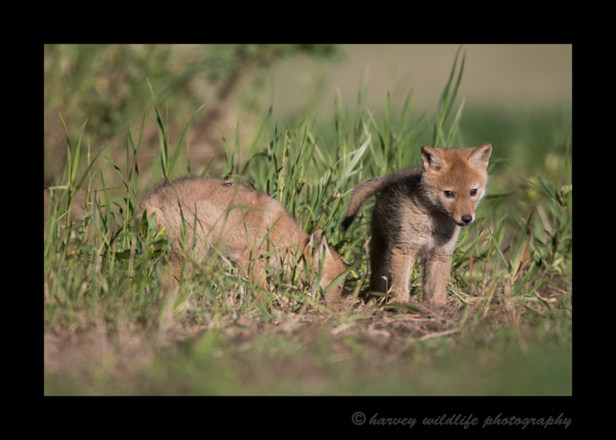 Picture of two coyote puppies in a field near Stony Plain, Alberta, Canada. Photo by Greg of Harvey Wildlife Photography.