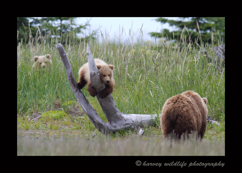This mother is still taking care of her two cubs. At 15 or 16 months old, they are rambunctious and like to run ahead and then get bored waiting for their slow mommy.