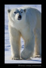 Walking_Polar_Bear