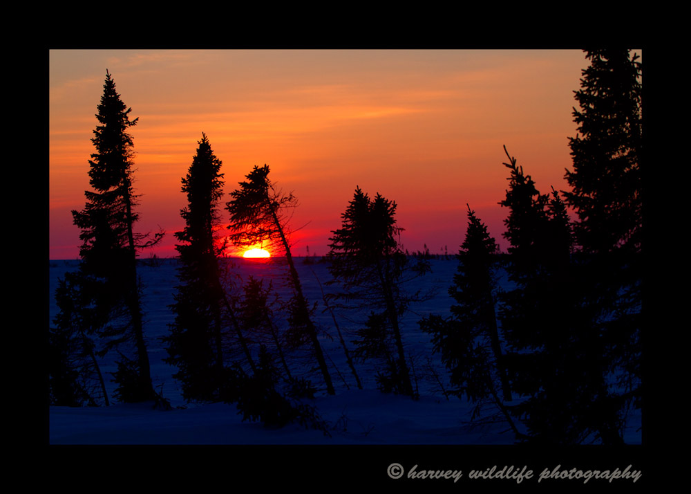 After a successful day of photographing a polar bear family, I took a quick sunset picture on the way back to the van.