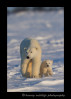 Wapusk_Mom_and_Cub_1