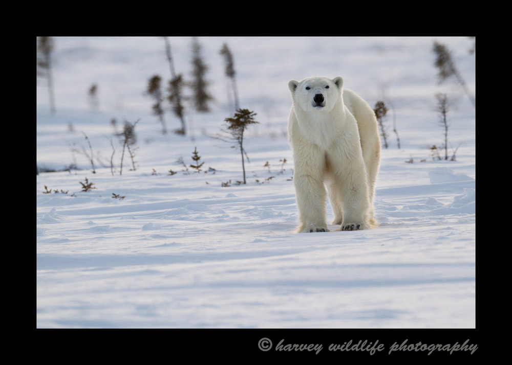 Wapusk_Polar_Bear_1