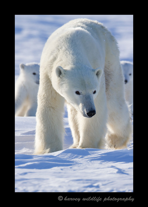 Wapusk_Polar_Bear_Family