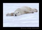 Wapusk_Snow_Bath