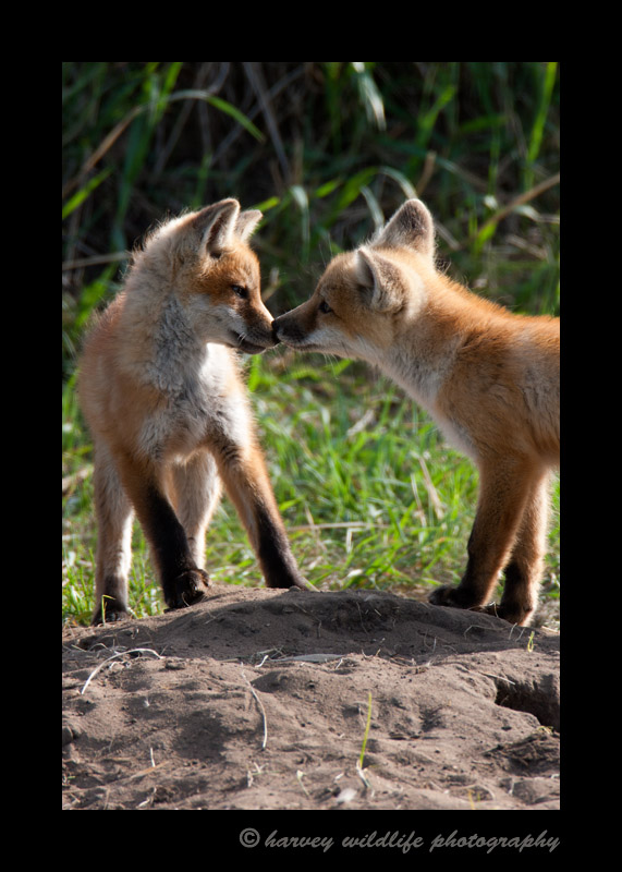 One of my clients told me about this fox den near Ponoka, so I drove down every Sunday for a month and waited and watched them. Sometimes they would show themselves and sometimes they wouldn't. In this photograph, they had both come out of different holes in the ground, one ran toward the other and they had a warm sibling greeting.