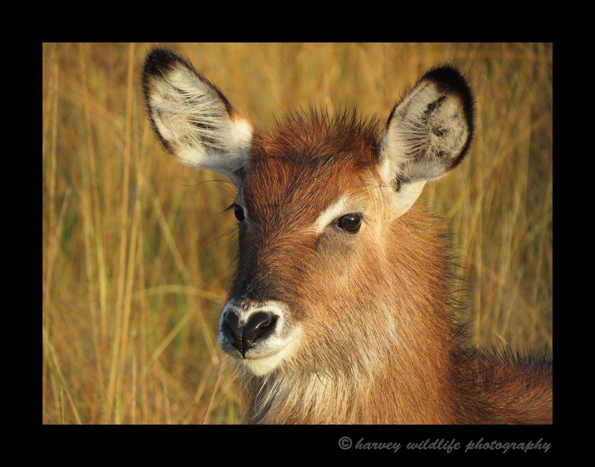 This image is courtesy of my better half, Gaye. This waterbuck antelope was in a small herd and was nice enough to pose for us in the morning light.
