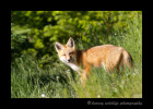 Waterton-FoxIMG_4997