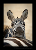 This pregnant zebra was hot and tired. It is the dry season in Tanzania and she is pregnant, so she rests her head on the zebra ahead of her so she can have a little rest.