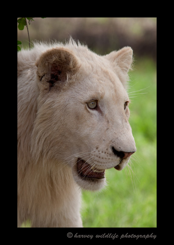 A white lion in captivity in South Africa.