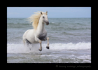 Picture of a stallion running out of the sea in the Camargue region of Southern France. Photo by Greg of Harvey Wildlife Photography.