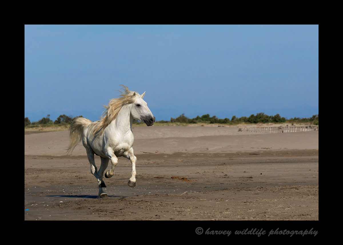 Picture of a Camargue horse galloping on a Mediterranean beach near Saintes Maries de la Mer in Southern France.