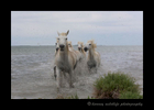 Picture of white horses running ashore in Southern France.
