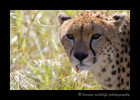 Cheetahs generally look so gentle and playful. They even chirp like a bird. When it is time to get serious and hunt though they mean business. This cheetah just took down an impala for her and her two month old baby. After she finishes with the impala she looks up with her ears still back as if to say {quote}Who's Next!?{quote}