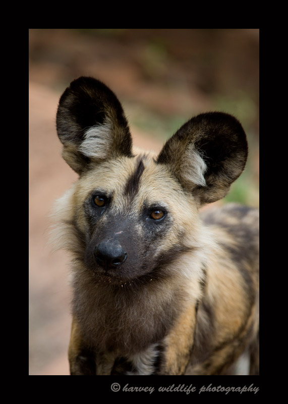 Wild dogs are really interesting animals. They hunt in packs and have amazing endurance and are excellent hunters. They are interesting in that they whistle like birds rather than bark.