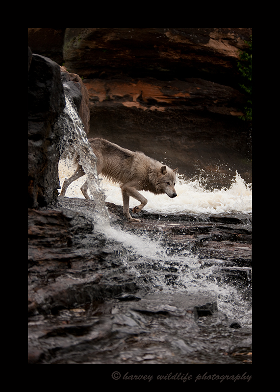 Wolf in Falls