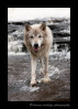 This wolf is a wildlife model in Minnesota.