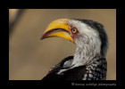 Yellowbeak_hornbill_1754