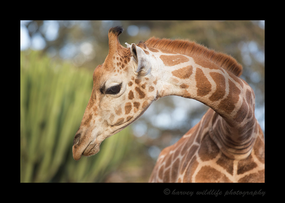 Young Rothschild Giraffe at Giraffe Manor
