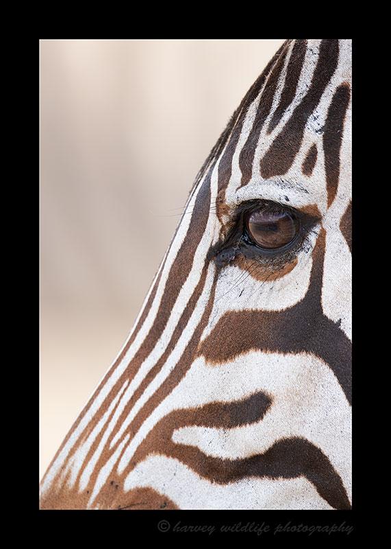 Zebra Eye, HW Safaris