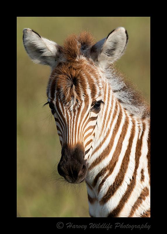 Zebra-Foal-2019