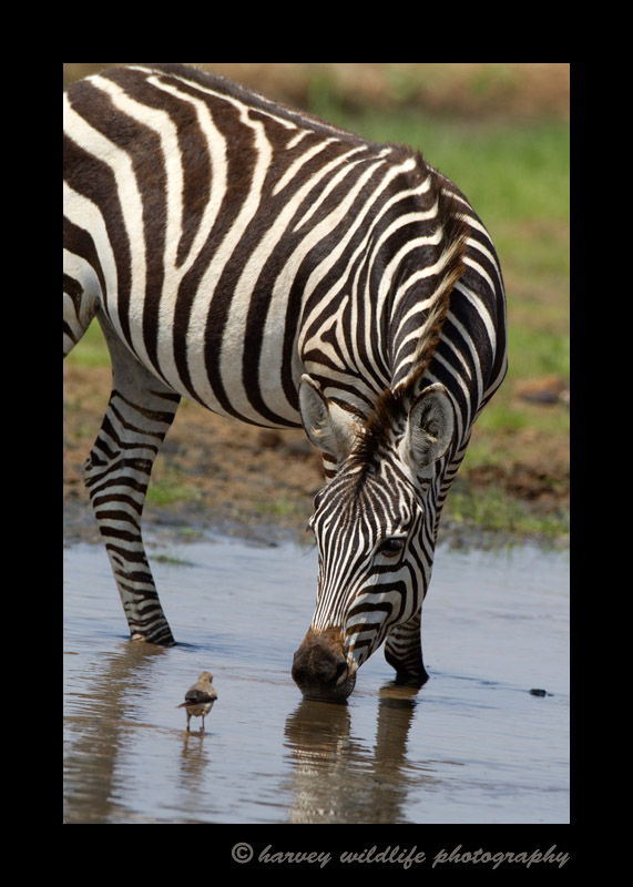 Zebra and Bird