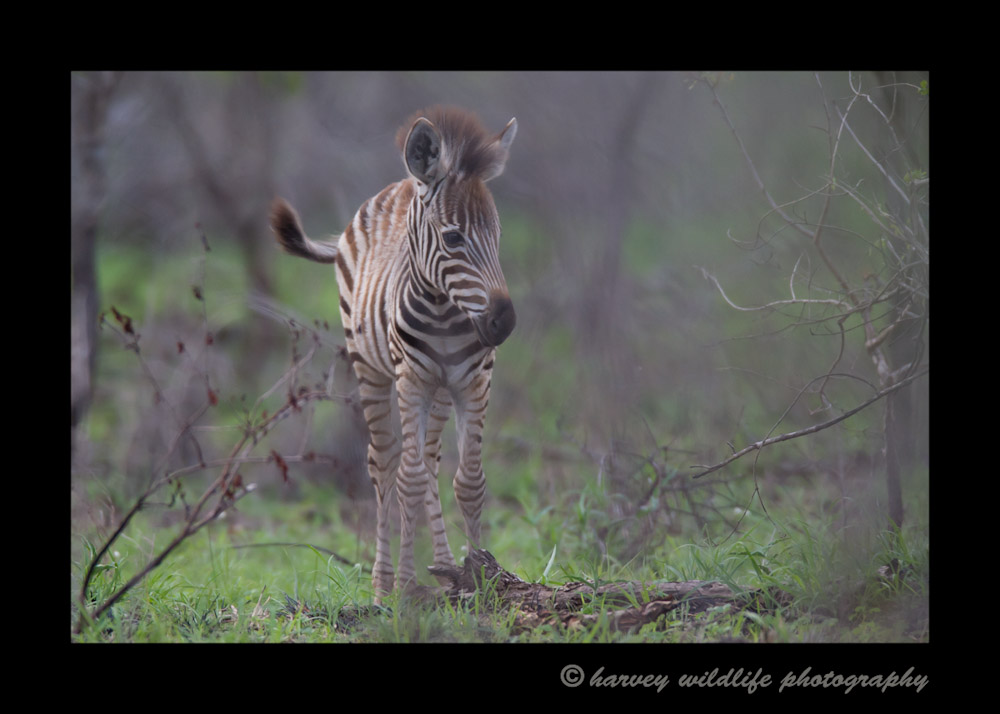 Zebras are skittish in South Africa, so this little one was difficult to photograph as it wouldn't come out of the bush.