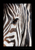 Zebra Close Ups